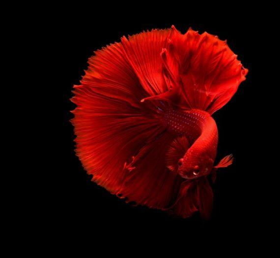 Yuk Cari Tahu Cara Membuat Racikan Umpan Ikan Mas Yang Ampuh