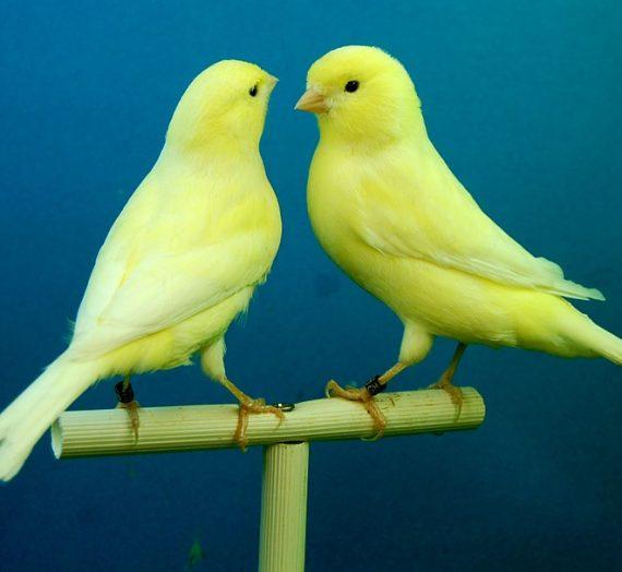 10 Fakta Menarik Tentang Kicau Burung Lovebird