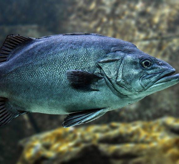Mengenal Berbagai Jenis Ikan Mas Koki yang Unik dan Populer