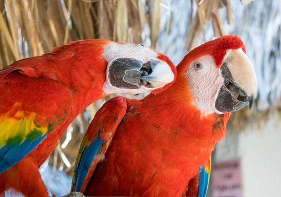 Inilah Sifat-Sifat Karakteristik Burung Kacer