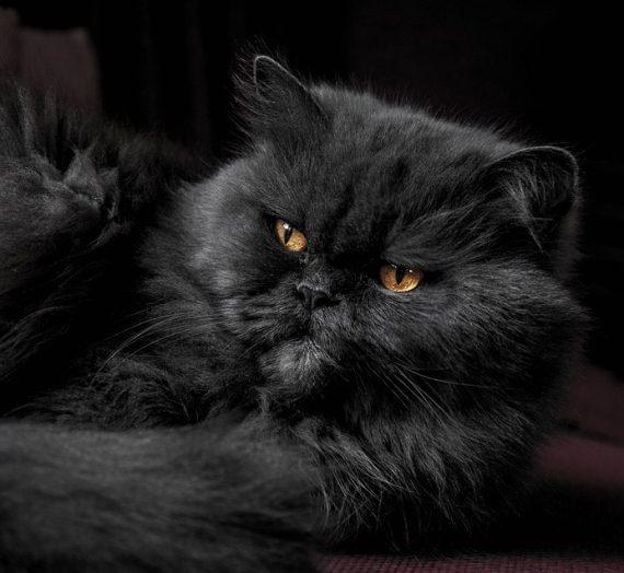 Membersihkan Kutu Kucing Hanya dengan Obat Kutu Kucing Saja, Apakah Cukup?